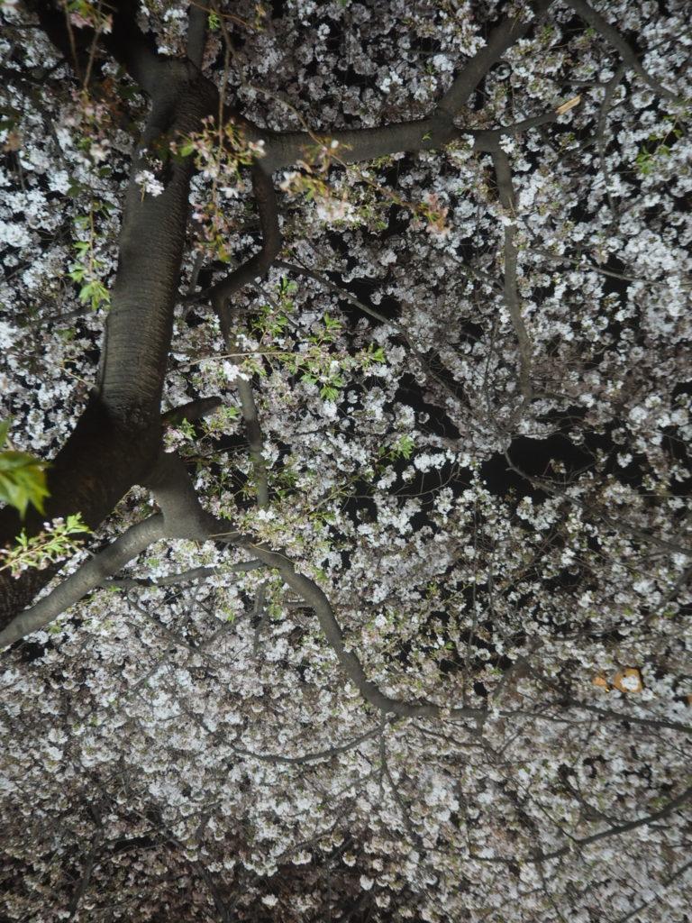 目黒川の桜祭り1