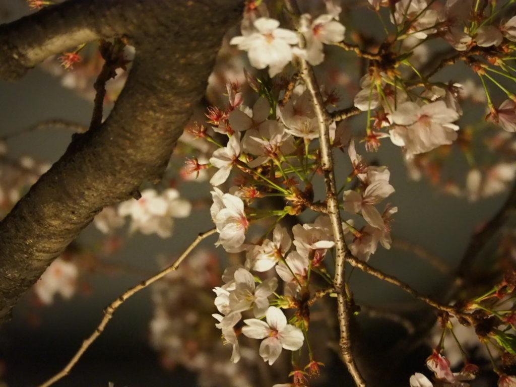 目黒川の桜祭り2