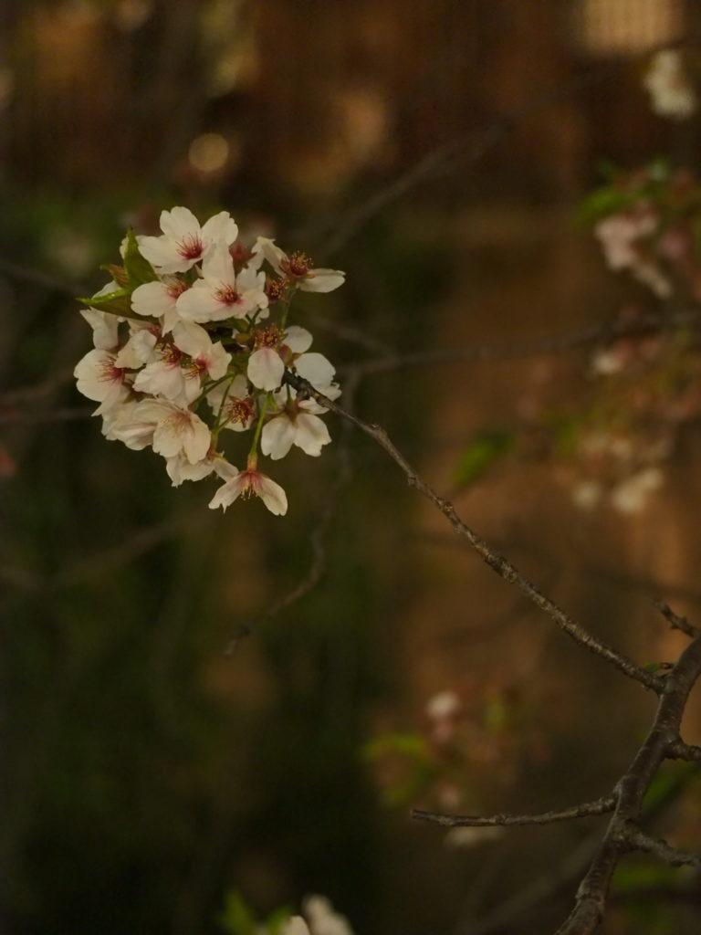 目黒川の桜祭り4